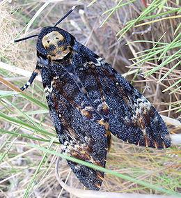 pillangó zeugma utolsó pillanatban