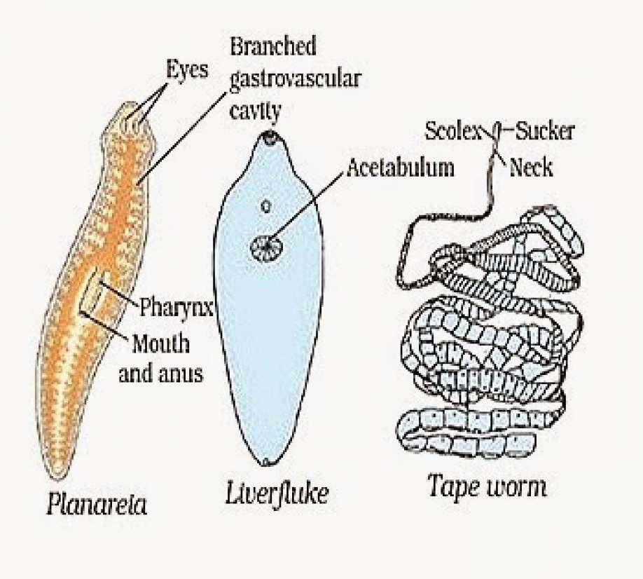 meghatározás phylum platyhelminthes