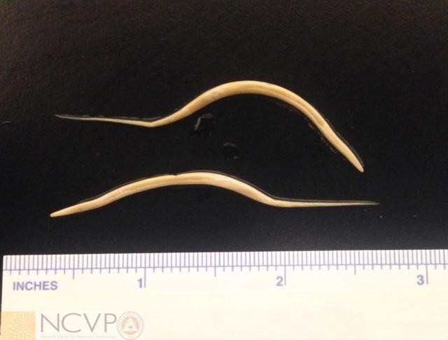 Hogyan lehet megszabadulni a pinworms től gyógyszerekkel. Pinworms kezelése: tünetek és gyógyszerek