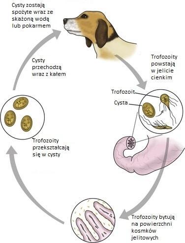 giardia u psa lecba A pinworms fertőző az emberre