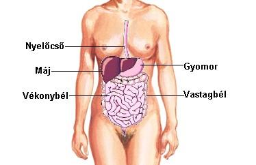 emberi szervek elhelyezkedése a testben - Google keresés | Human body, Human, Body