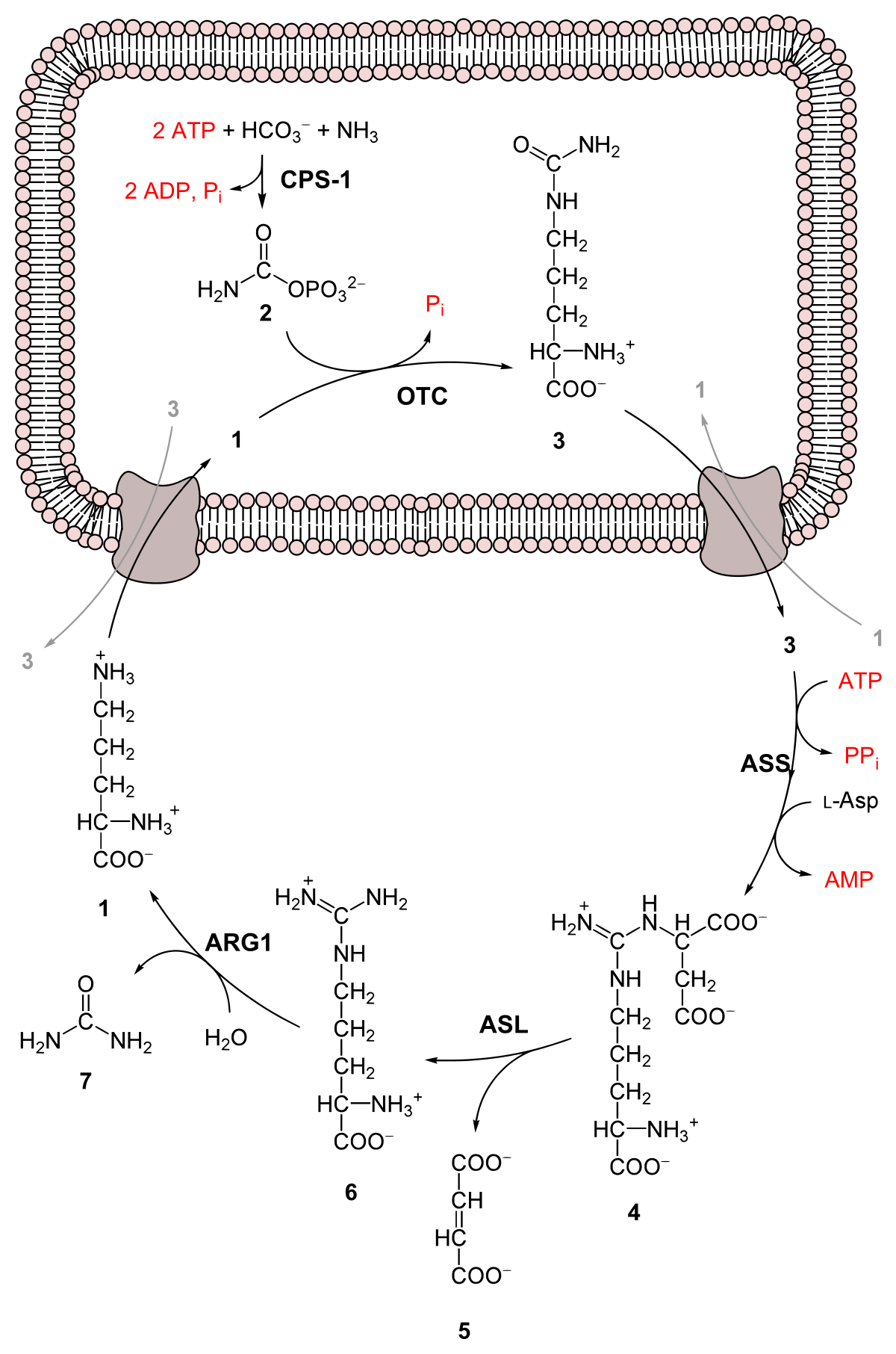 ornitin-ammónia paraziták