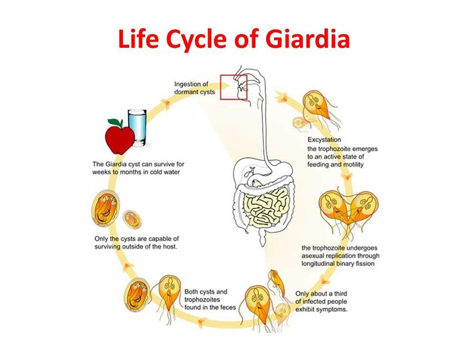 Giardia kat mens. Lehetséges gyógyszereket venni a giardiából a megelőzés érdekében