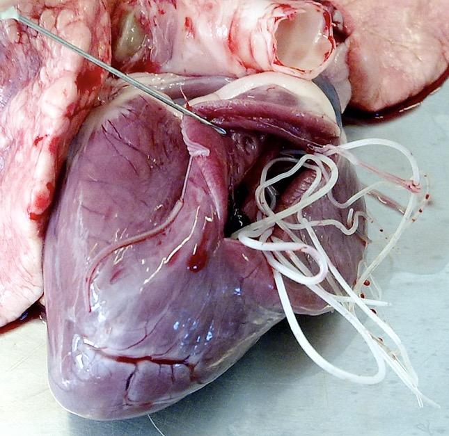 Megelőzés – Mindent a szívférgességről
