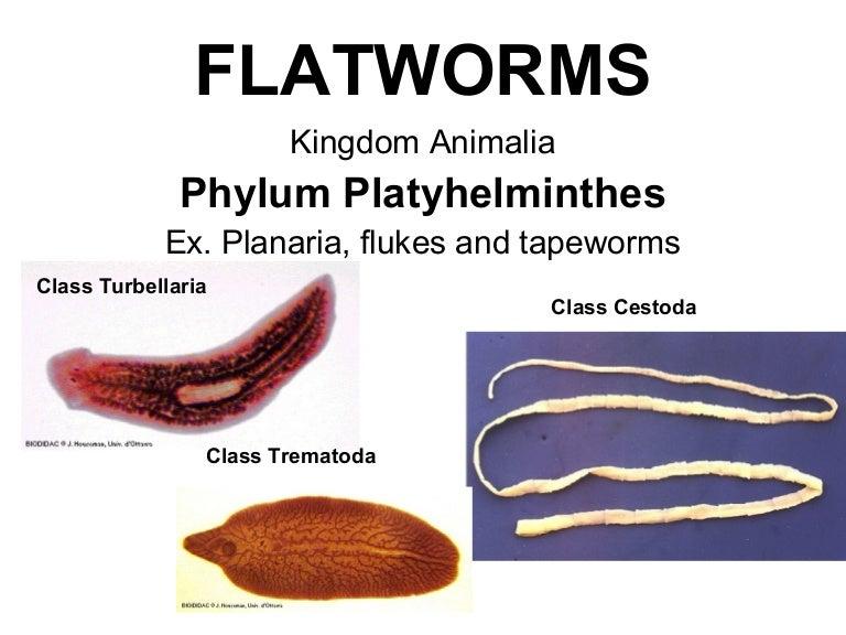 Meghatározás phylum platyhelminthes, További keresési lehetőségek: