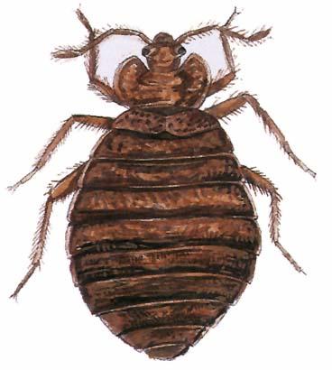 Hajban élősködő bogarak Tartalomjegyzék