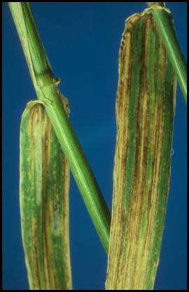 helminthosporiose gramineum paraziták az emberi életben