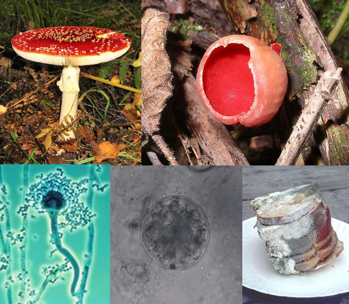 zygomycete gombák 10 hónapos giardia la bebélusi