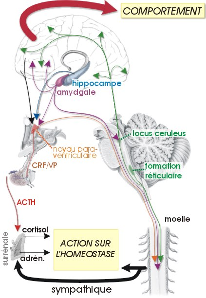 a galandféreg betegség stresszét