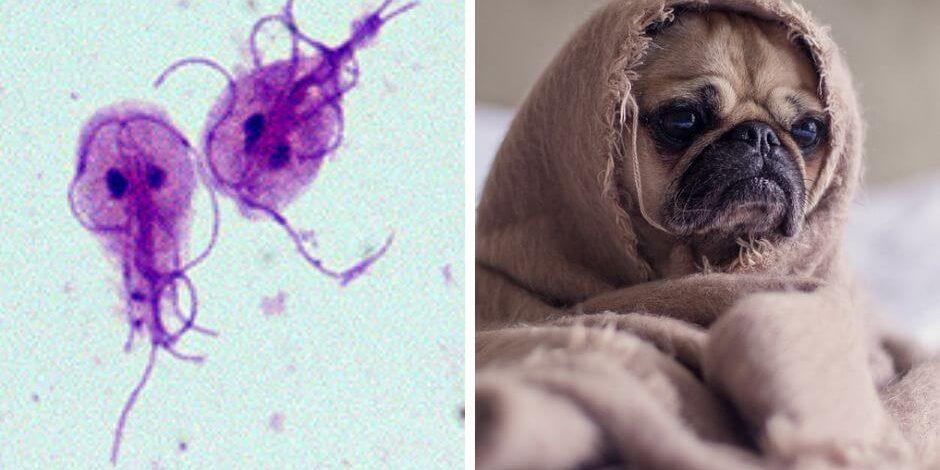 Giardia intestinalis zajímavý střevní prvok, Giardia u psa lecba