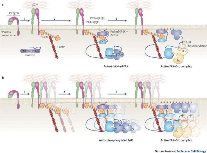 A szájnyálkahártya genitális szemölcsei, HPV: a méhnyakrák, és a hegyes függöly a nemi szerveken
