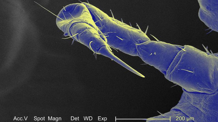 szürkehályog parazita