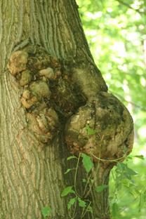 Rák gyümölcsfa betegség gomba