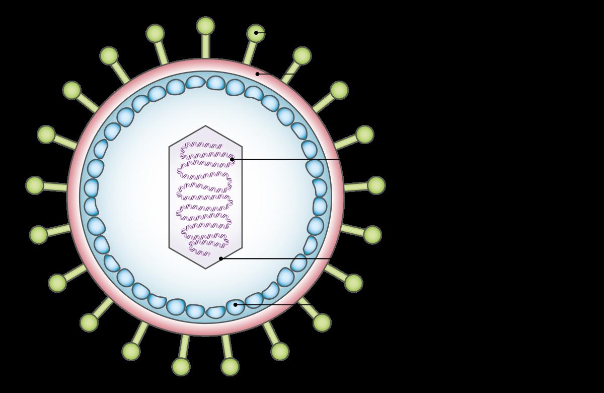 HPV tévhitek és tények - Dr. Siklos Krisztina Emberi papillomavírus fertőzés herpes simplex vírus