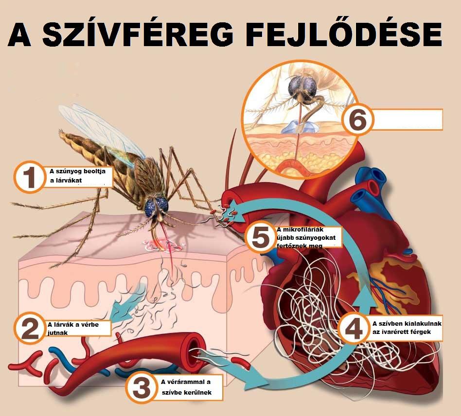 a fonálférgek fertőzőek klinika a paraziták testének tisztítására