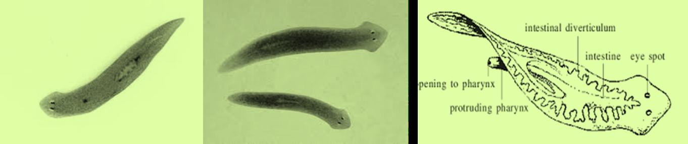 garnéla platyhelminthes és nemathelminthes méregtelenítés utáni