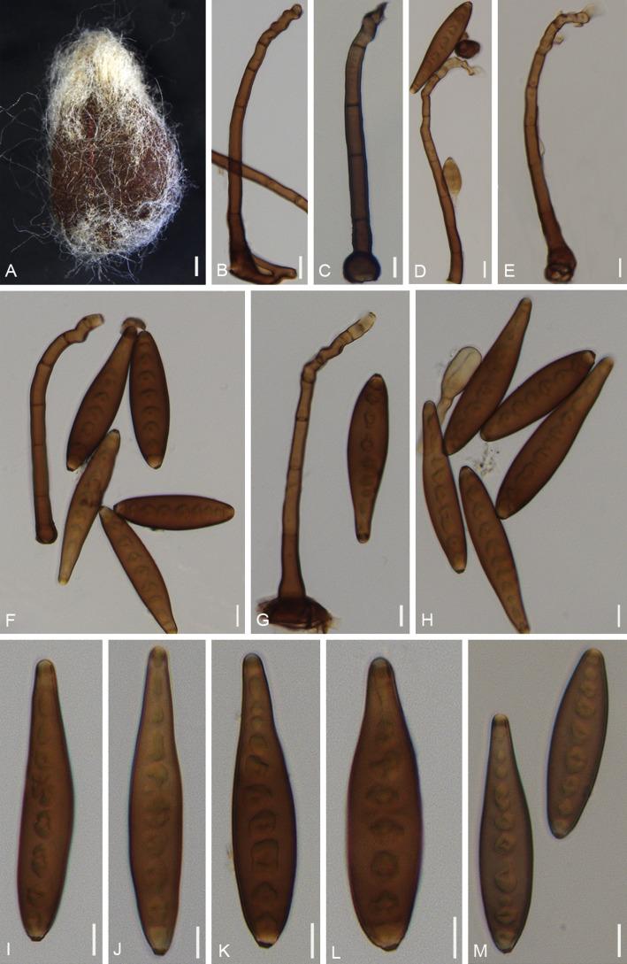 Helminthosporium cynodontis