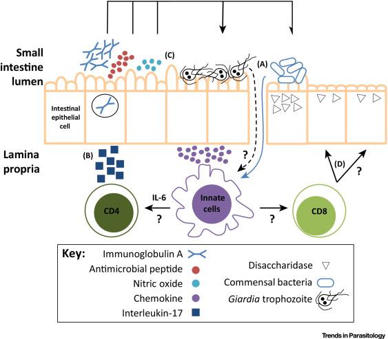 a giardia duodenalis patogenezise