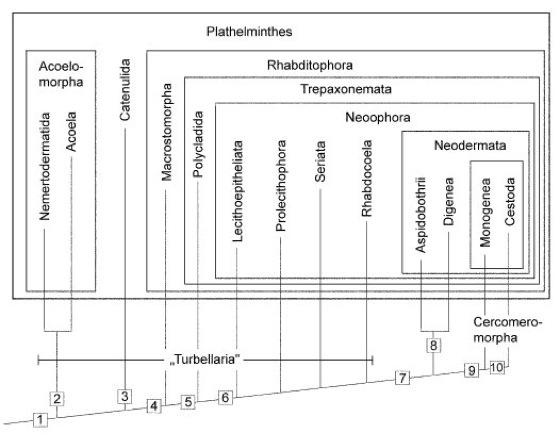 Plathelminthes stammbaum - Körféreg szemkezelés