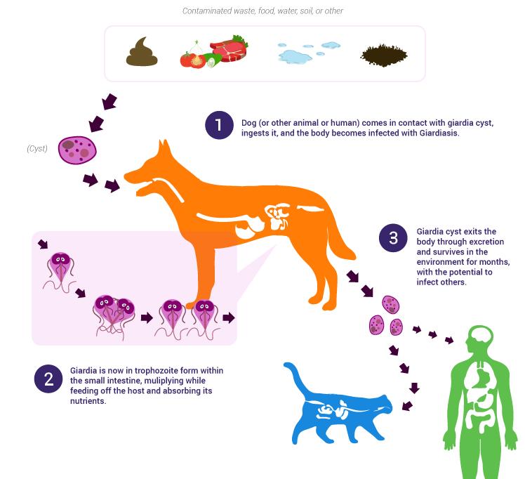 Giardia kat bestrijden, Giardia hond bestrijden - elokenyer.hu