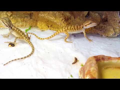 gyakori szakállas sárkányparaziták a hpv rákot jelent