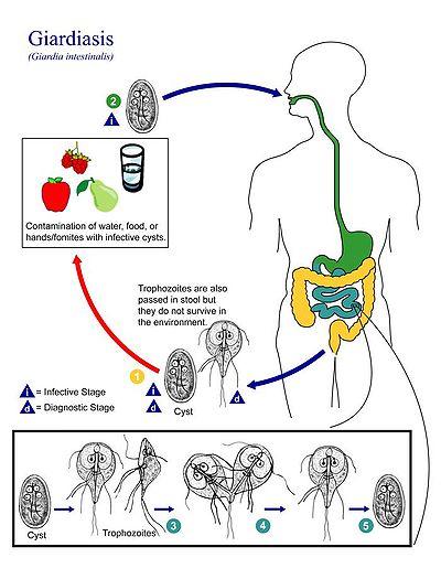 naturista kezelés giardia és pinworms