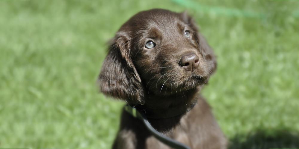papillomavírus honden)