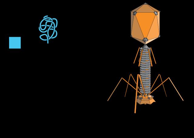 A vírusok és az emberi szervezet - gyereahogyvagy