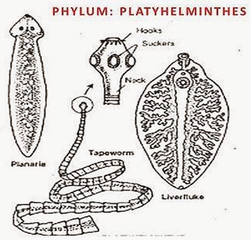 Gerinctelen Állattan I., Platyhelminthes phylum tények