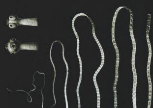 galandféreg fejlesztés hpv per genitális szemölcsök