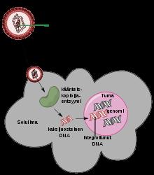 potenciálisan onkogén humán papillomavírusok széles szemölcsök
